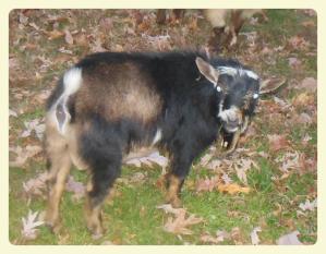 Apache Buck_Fotor