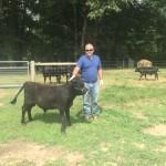 Irish Dexter Cows - Ferdinand Steer