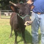 Irish Dexter Cows - Joseph Bull